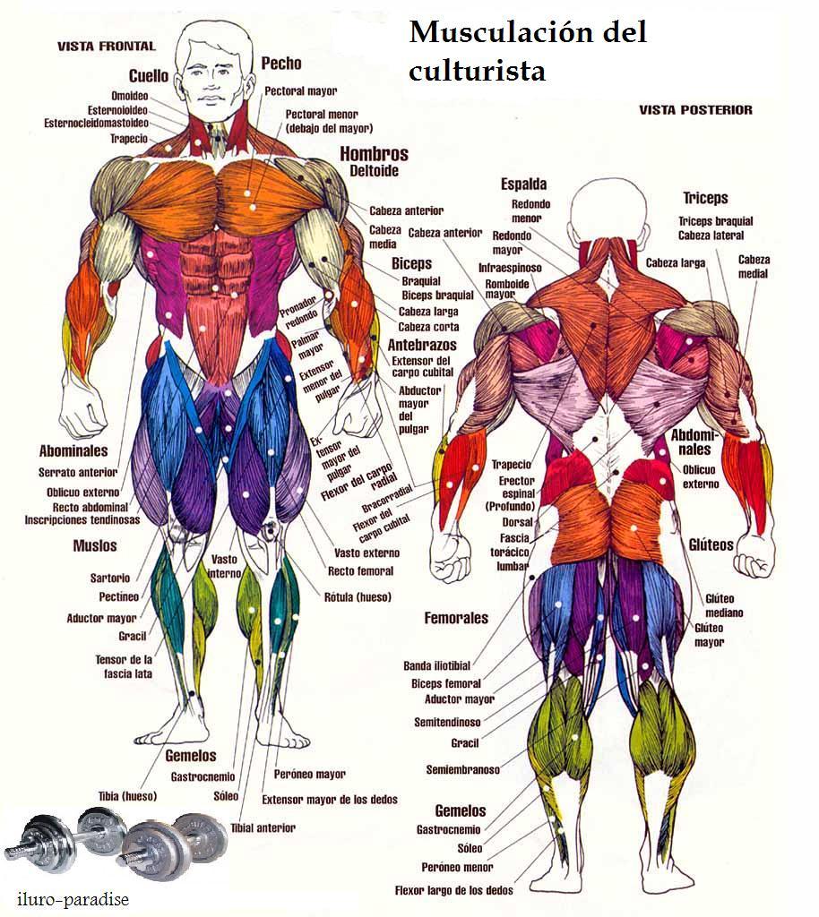 Los grupos musculares | Fuerza Máxima